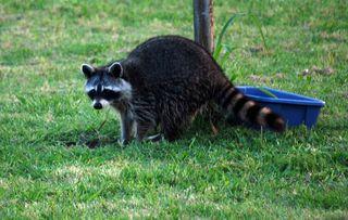 RaccoonMay19