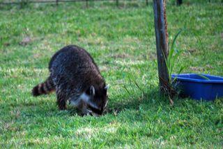 RaccoonMay19b