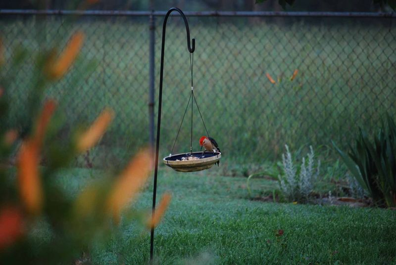 WoodpeckerMay27