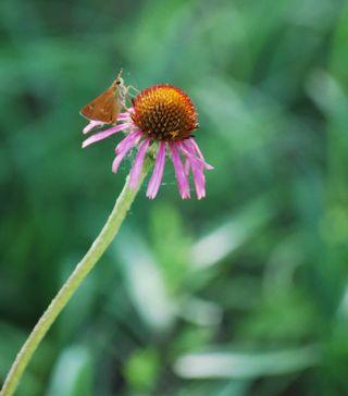 Coneflowerbutterfly