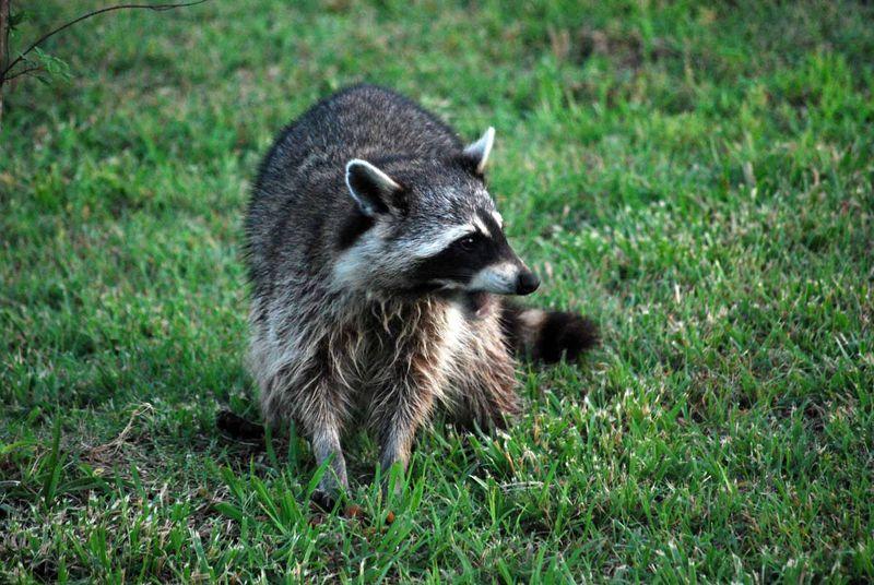 RaccoonMay31c