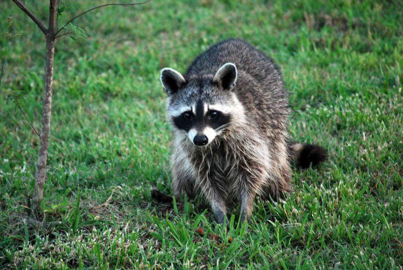 RaccoonMay31d