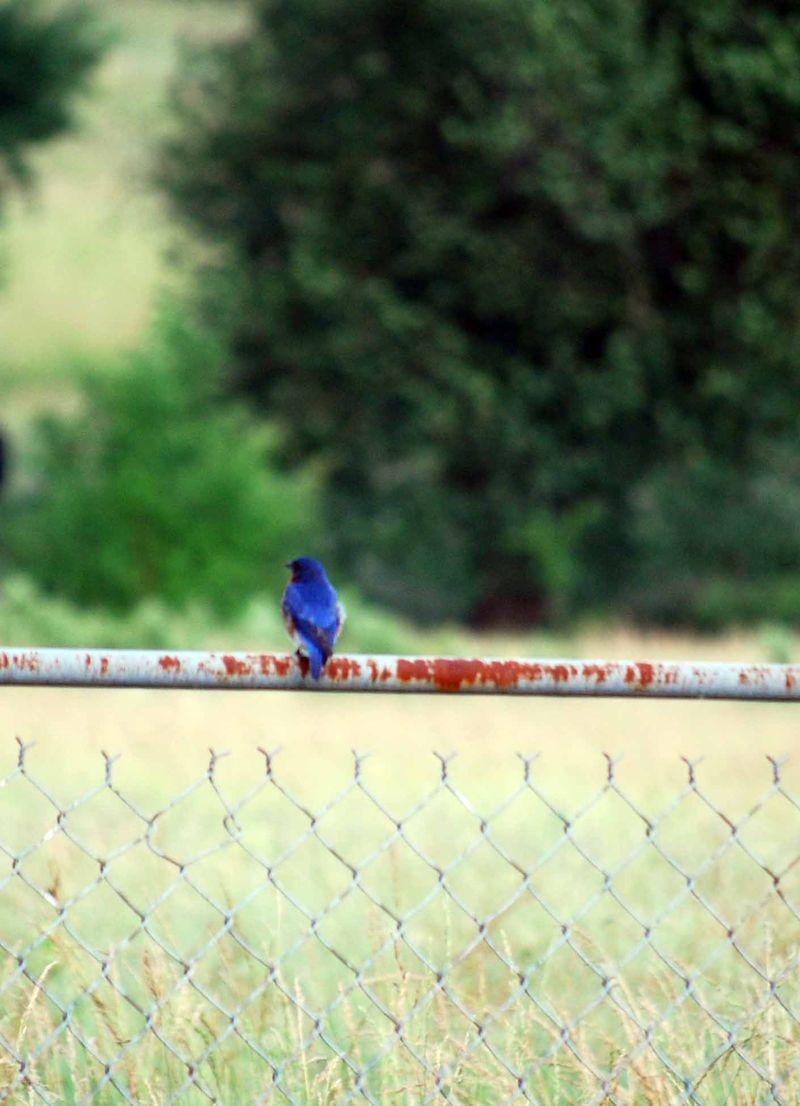 BluebirdJun3a