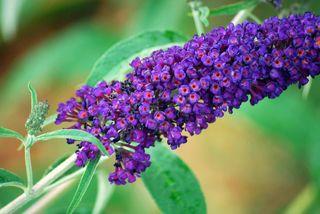 ButterflybushJun3a