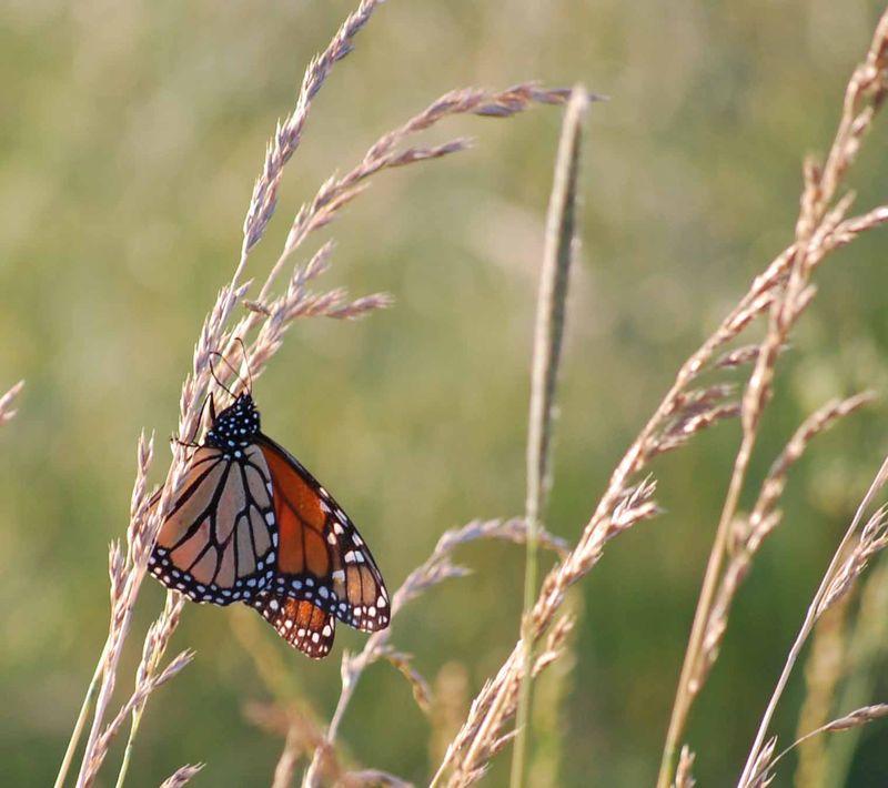 ButterflyJun5b