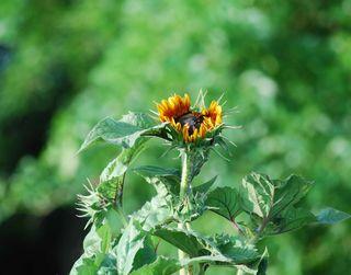 SunflowerJun9