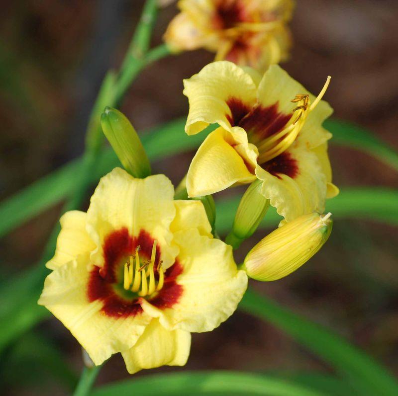 YellowliliesJun14
