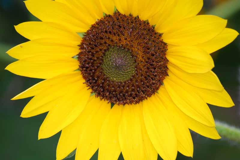 SunflowerJun29