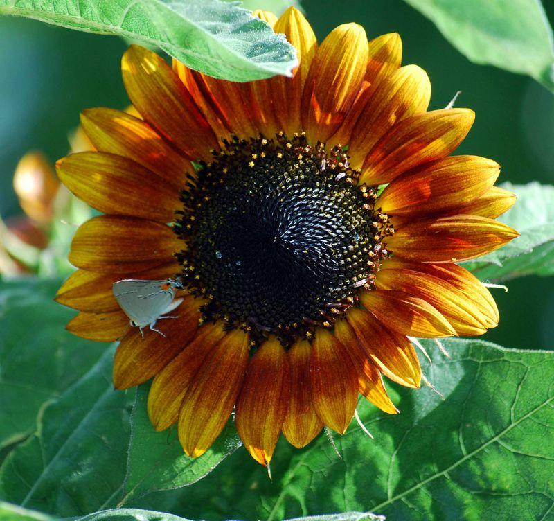 Sunflowerbutterfly