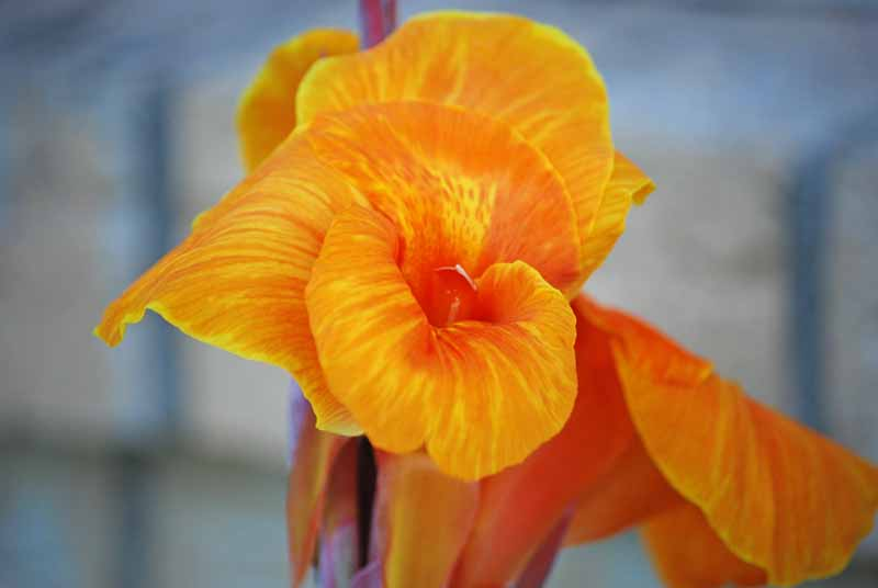 OrangecannaJul21