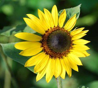 SunflowerJul23a