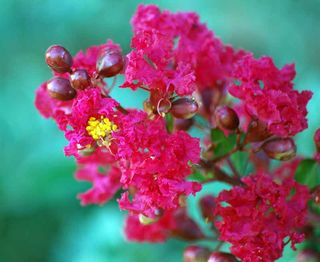 CrapemyrtleJul29