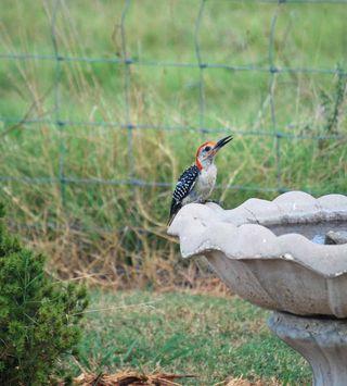 WoodpeckerAug12b