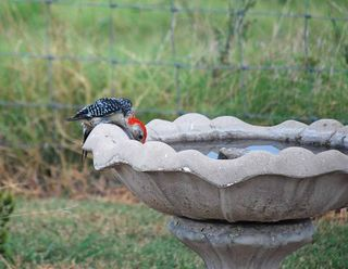 WoodpeckerAug12