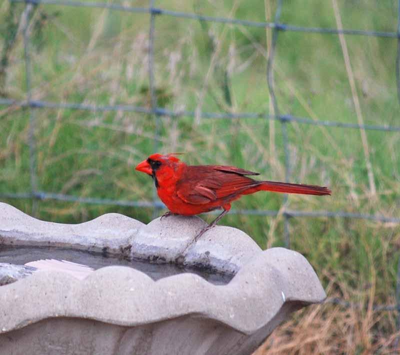 RedbirdAug12a