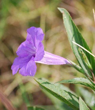 PurpleflowerAug15