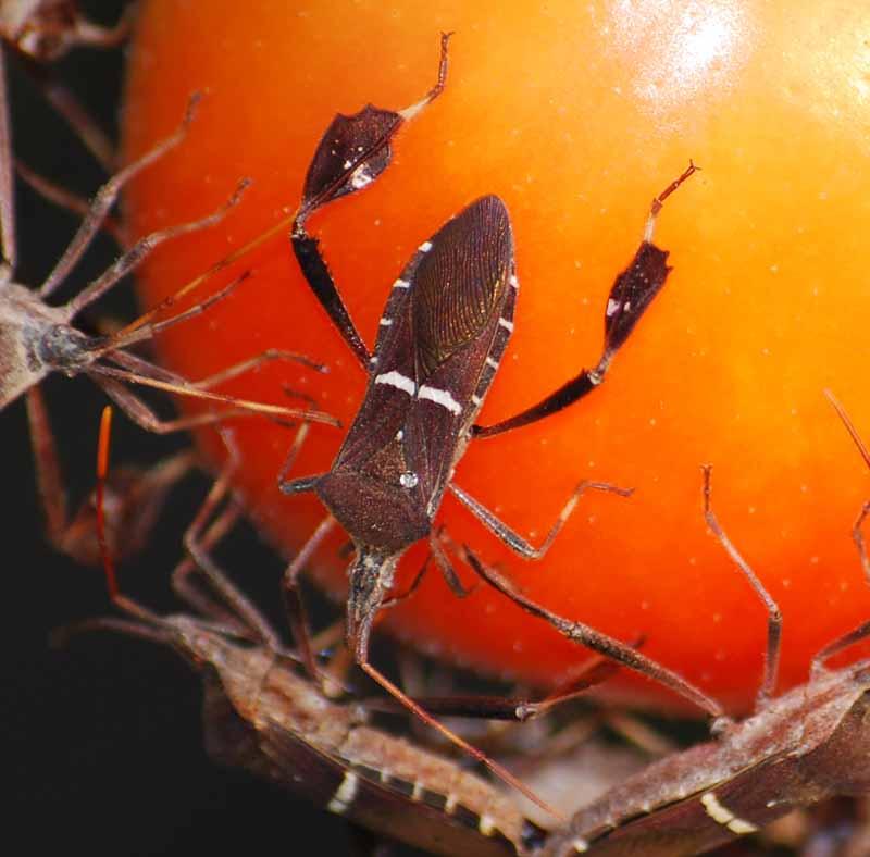 Tomatobugs3