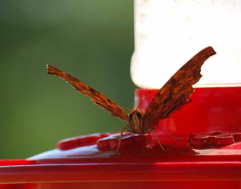 ButterflyhummerSep4a