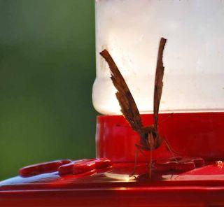 ButterflyhummerSep4b
