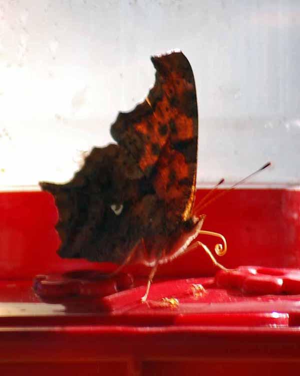 ButterflyhummerSep4c