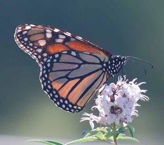 MonarchSep4d