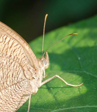 ButterflyfaceSep21a