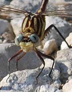 Dragonflyface21a