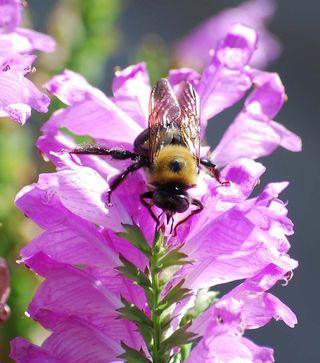 BumblebeeOct16d