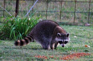 RaccoonOct24