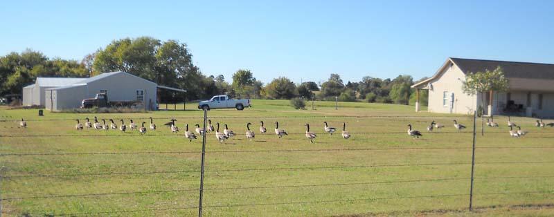 GeeseOct26b