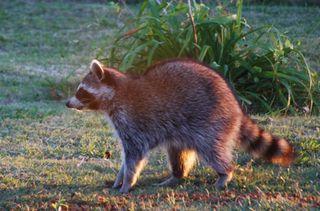 RaccoonOct26