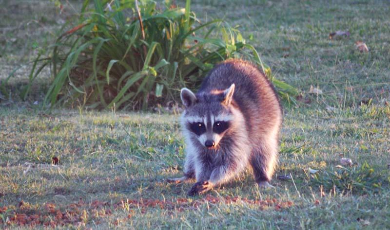 RaccoonOct26d