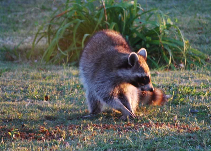RaccoonOct26b