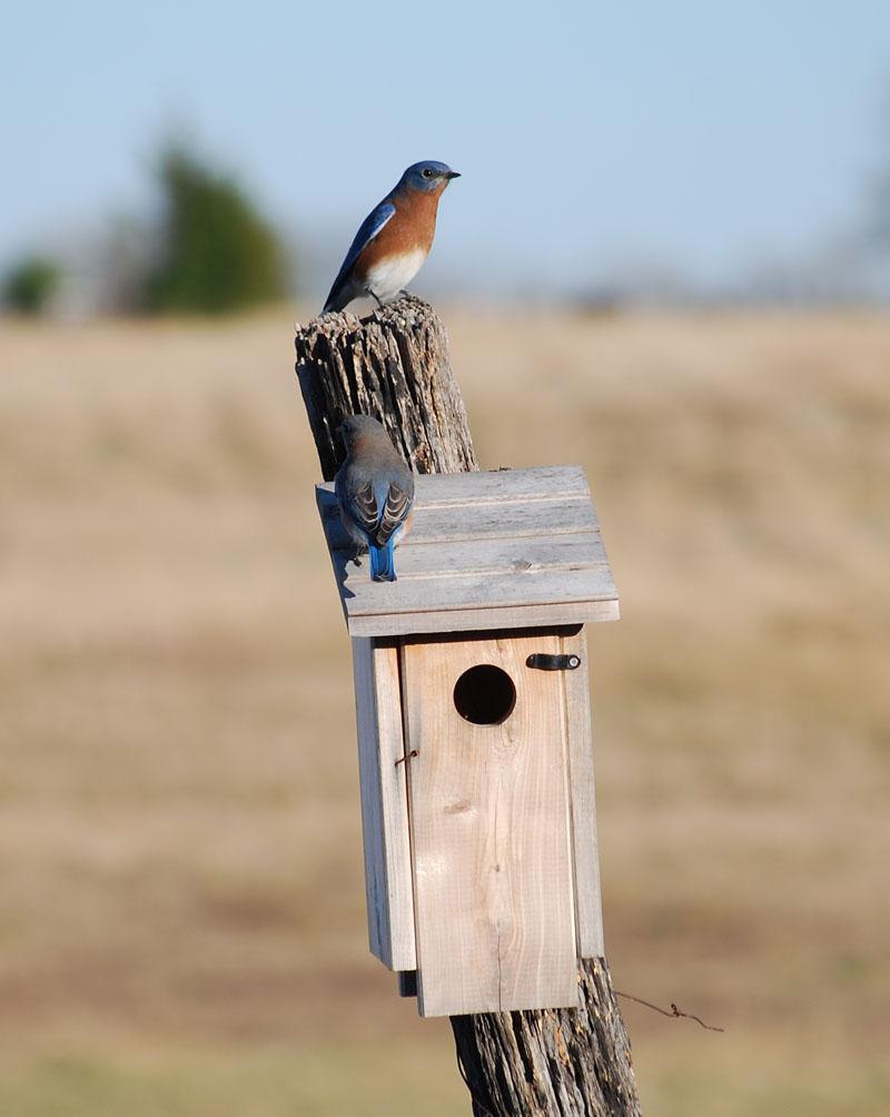 BluebirdshouseNov27