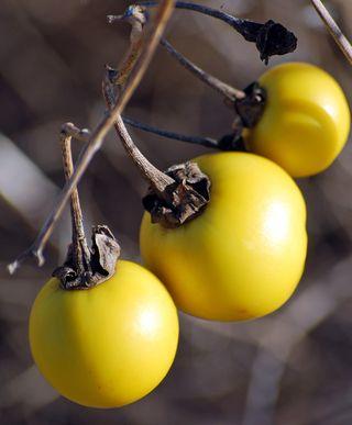 Yellow fruitDec26