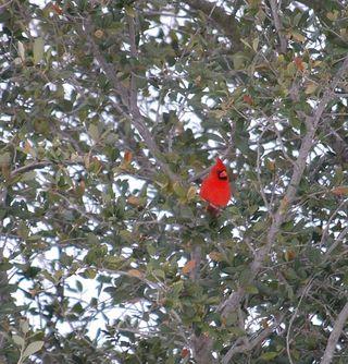 RedbirdJan10
