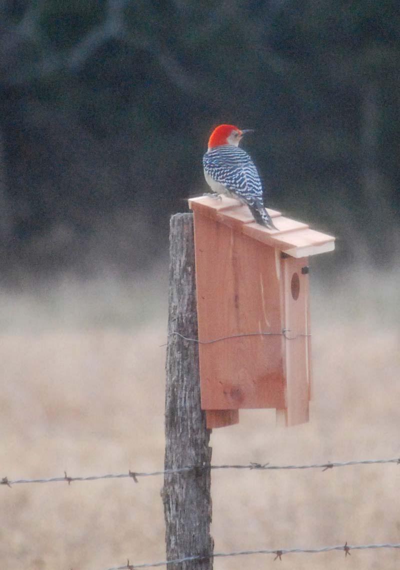 WoodpeckerDec21