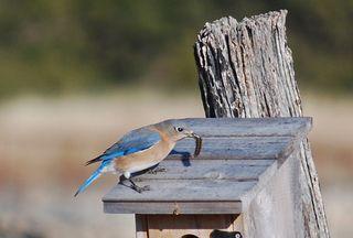 BluebirdDec26a