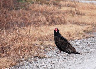 VultureDec28