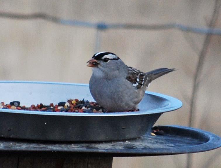 SparrowDec31a