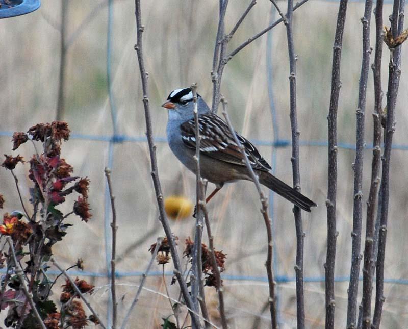 SparrowDec31d