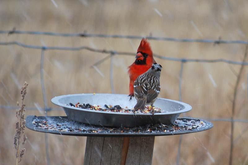 Redbird4