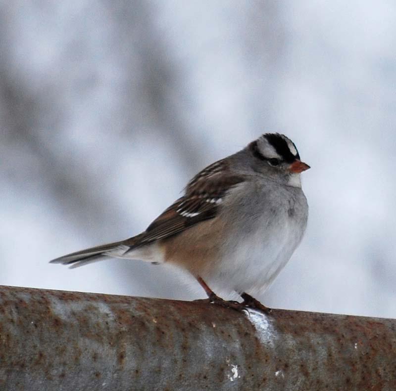 SparrowclJan10a