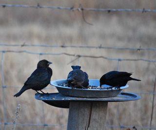 Black birdsJan19