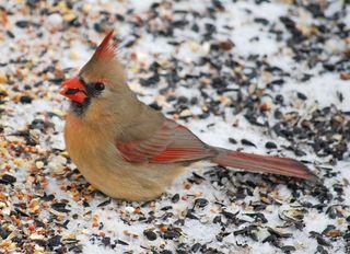 CardinalFeb1a