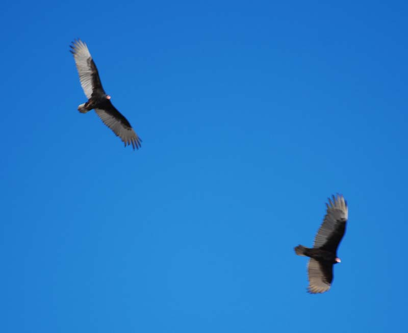 VulturesFeb10