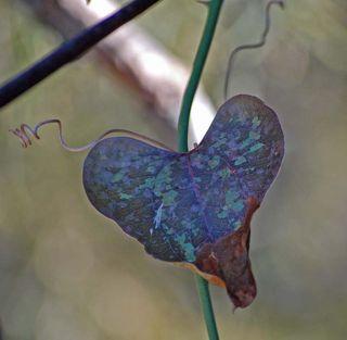 HeartleafFeb13