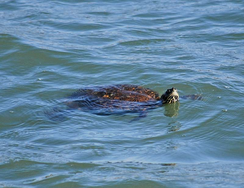 TurtleAp7a