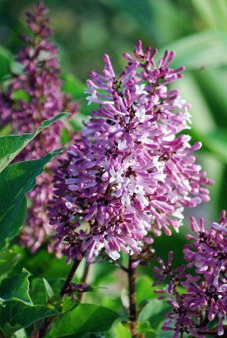 LilacAp9a