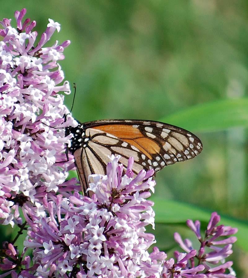 MonarchAp10b